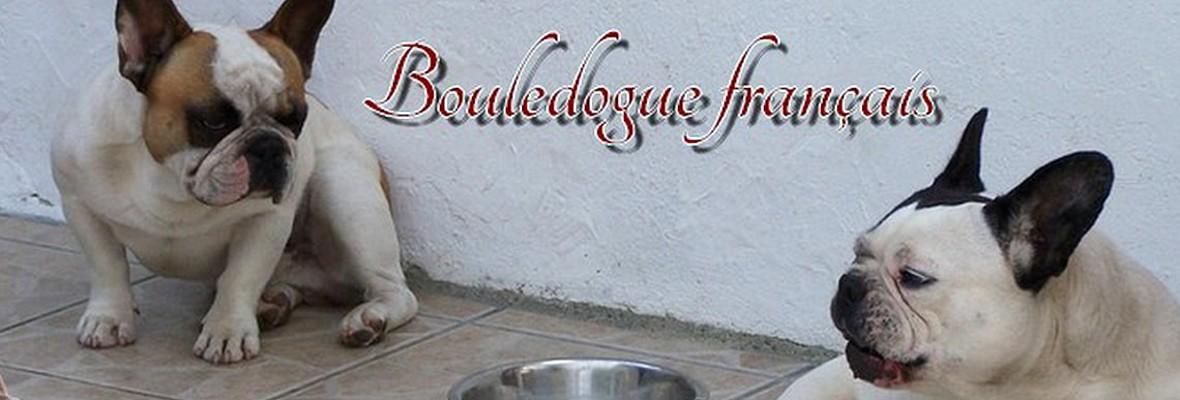 Elevage de bouledogue français